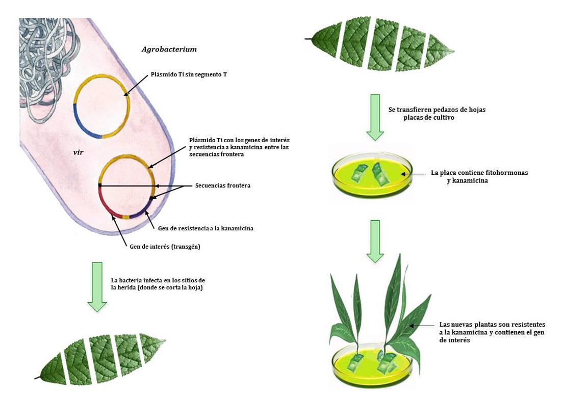 Obtención de una planta transgénica