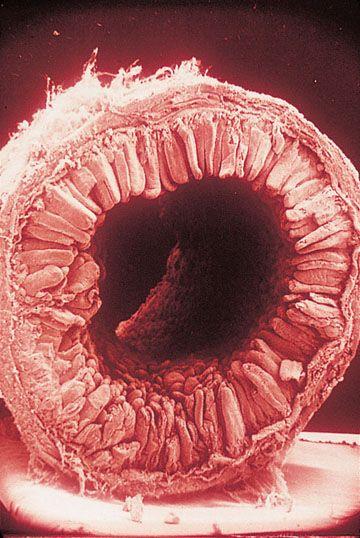 Sección del intestino delgado Fuente: http://theessenceofputrescence.tumblr.com/