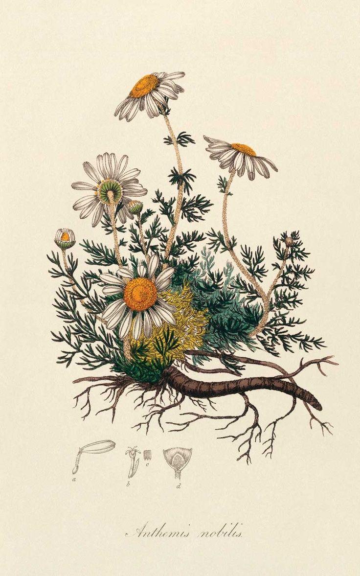 «Camomila» Ilustración de esta planta.