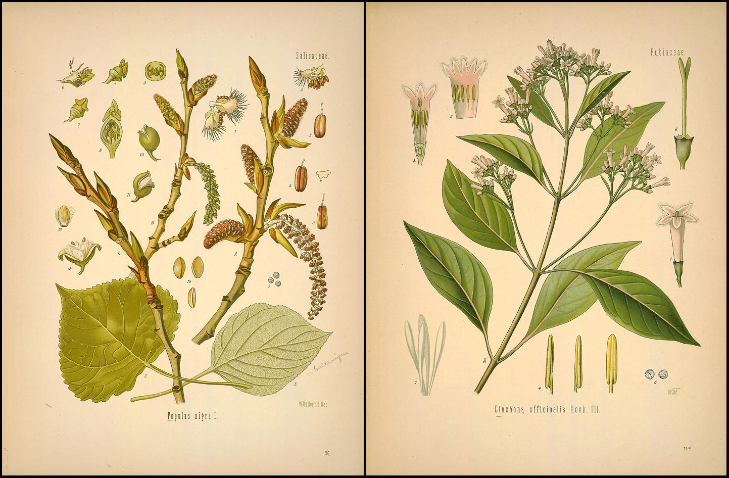 Ilustraciones en el «Medizinal Pflanzen» de la «Populus nigra» y la «Cinchona officinalis»