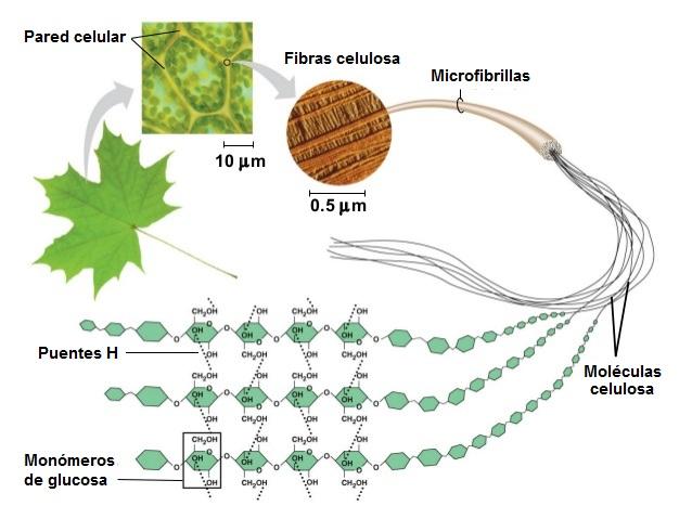Esquema de las moléculas de celulosa