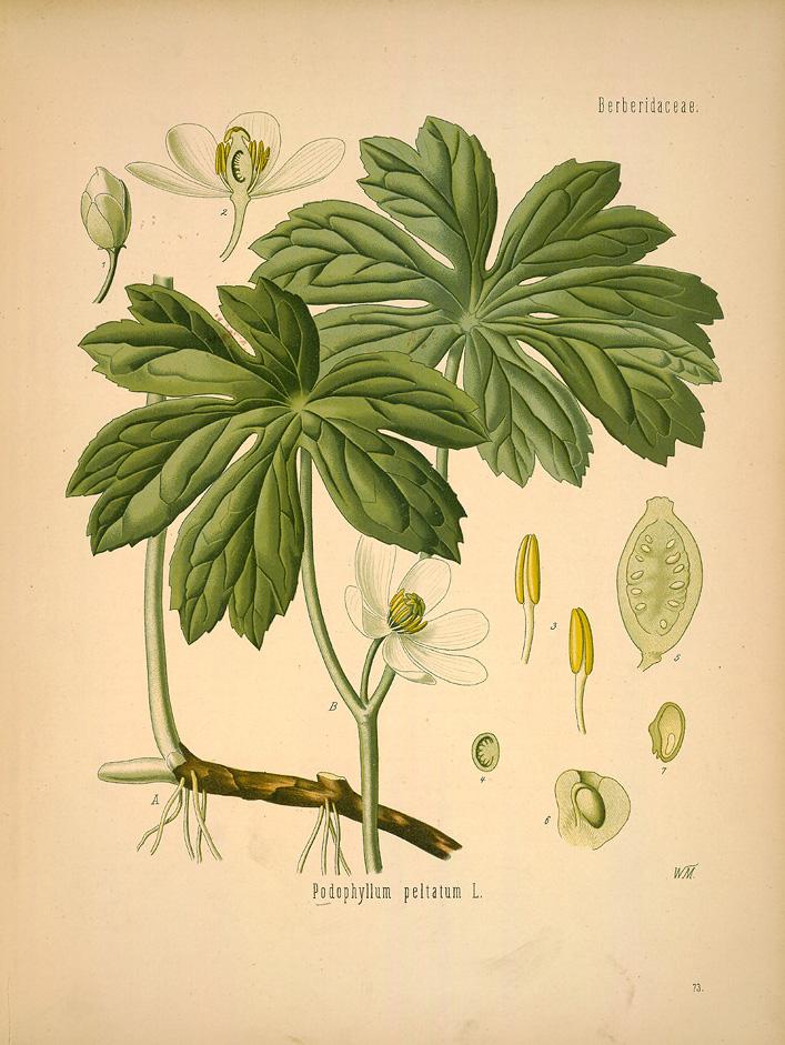 Ilustración en el «Medizinal Pflanzen» de la «Podophyllum peltatum»