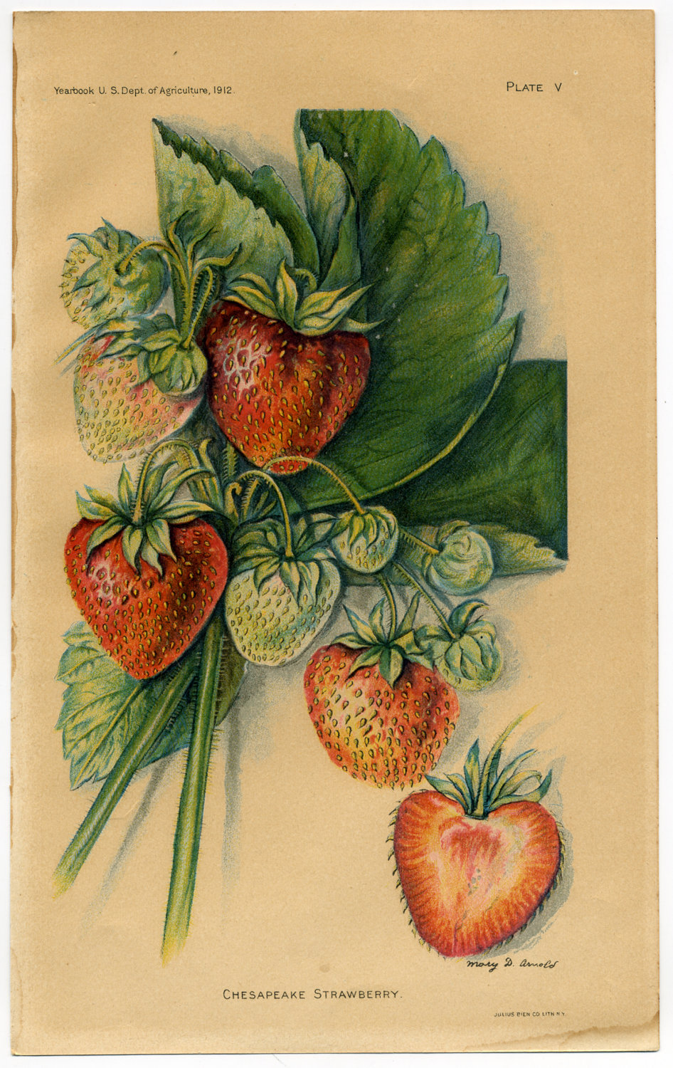 «Chesapeake Strawberry» Ilustración de 1912