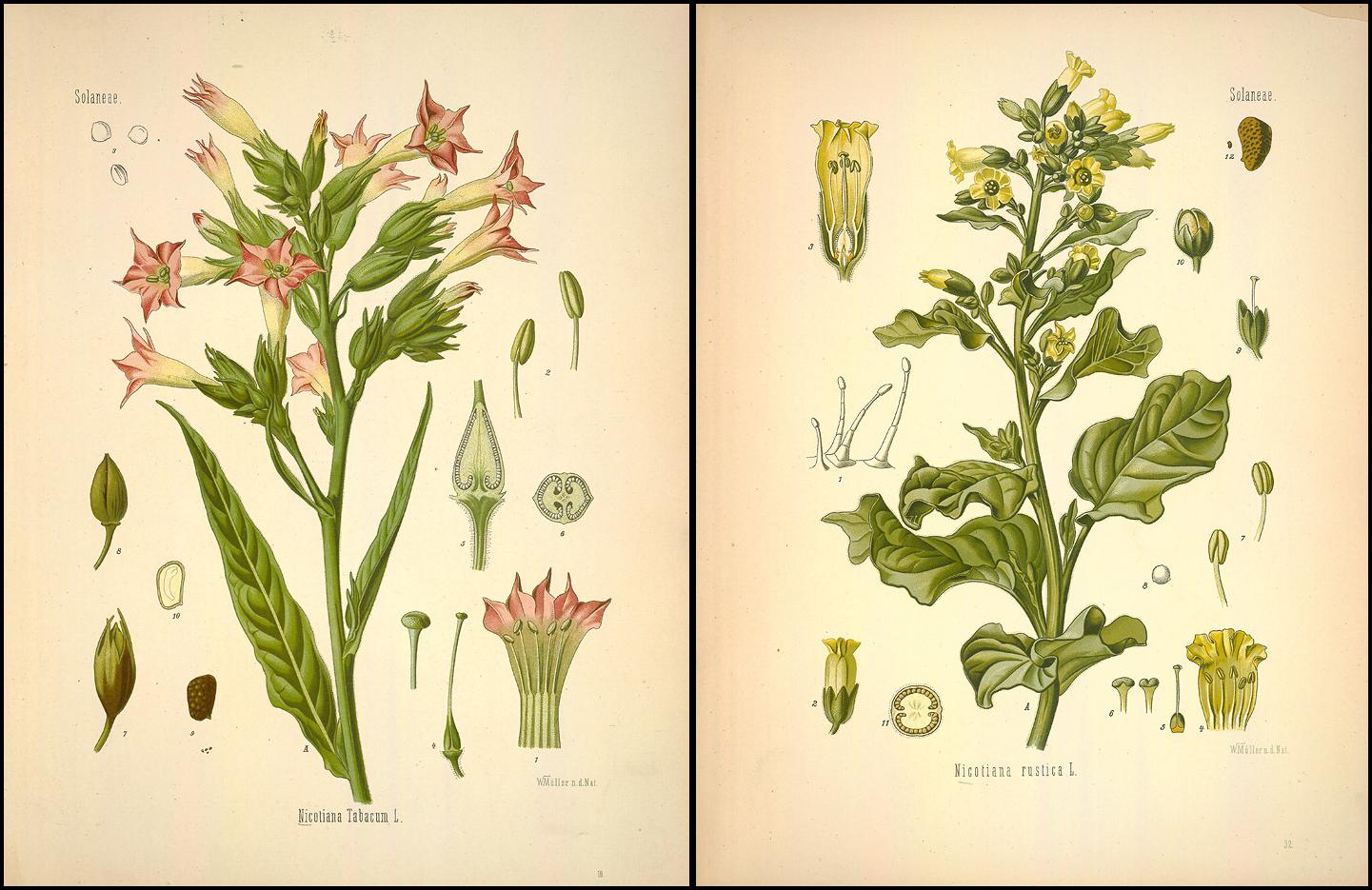Ilustraciones en el «Medizinal Pflanzen» de la «Nicotiana Tabacum» y la «Nicotiana rustica»