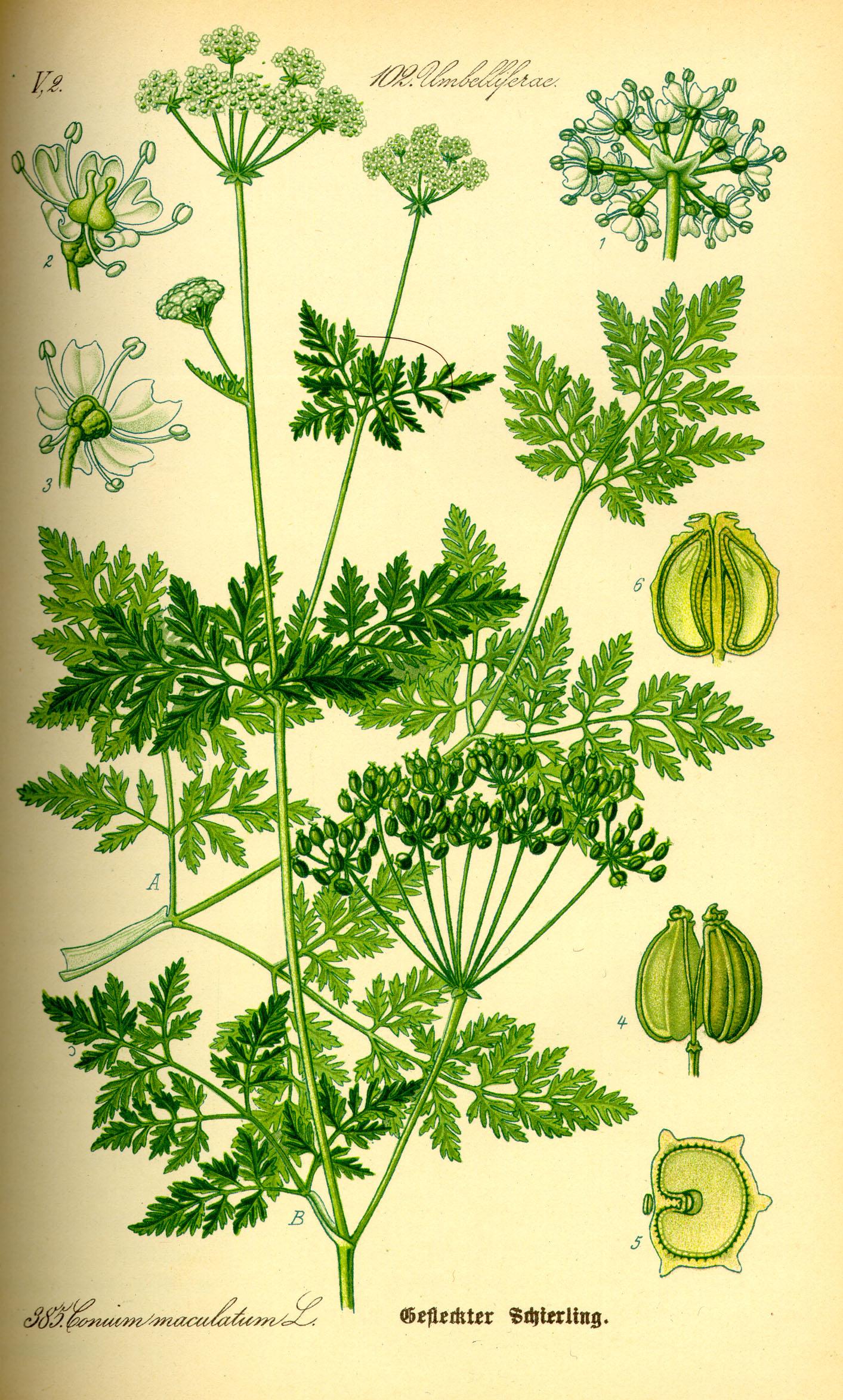 Ilustración del siglo XIX de Conium maculatum. Fuente: Wikipedia