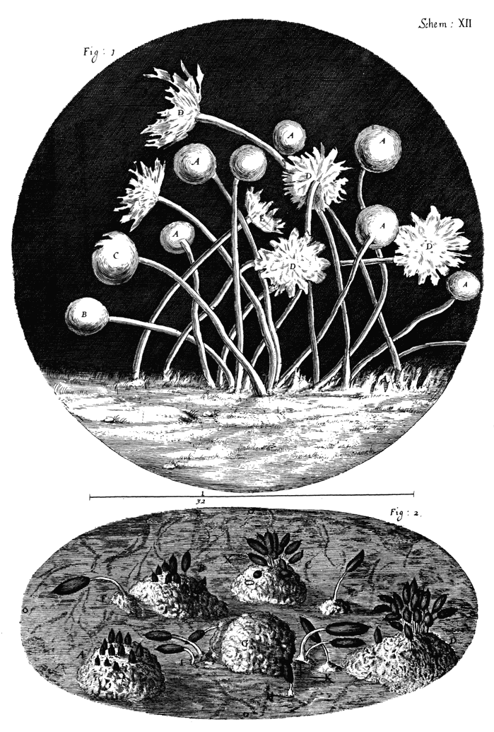 Ilustración realizada por Hooke y publicada en su obra Micrographia (1665) en la que se muestra la estructura de un moho. Se trata de la primera descripción documentada de un microorganismo.