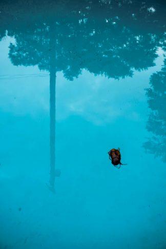 Melotona flotando en la piscina en la que se ve el reflejo del poste con el pájaro posado en él.